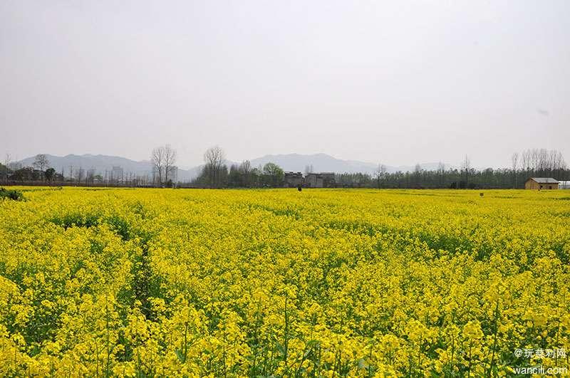 周末有个约会,琵琶洲花海千亩油菜花盛开等你来!